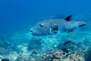 Pufferfish (аротрон) в SD Point, PED