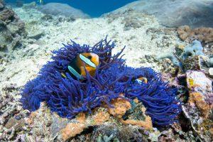 Clownfish (рыба клоун) в синем anemone в SD Point, PED